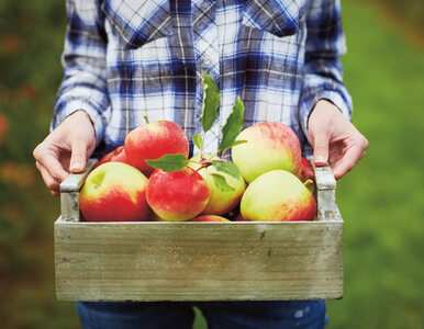 Nowa odmiana jabłek. Chrupiące, soczyste i świeże przez rok – ale czy na...