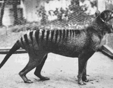 """Unikatowe nagranie z tygrysem tasmańskim. """"Każda sekunda jest cenna"""""""