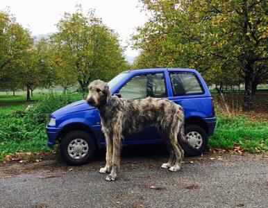 To jedna z największych ras psów na świecie. Ich zdjęcia są komiczne!