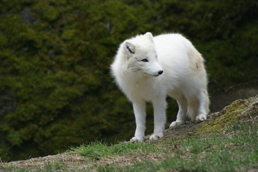 Biały lis (zdj. ilustracyjne)