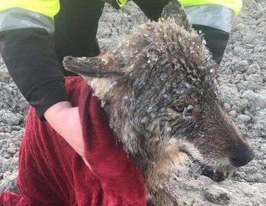 """Dziwny """"pies"""". Nie wiedzieli, że uratowali... wilka"""
