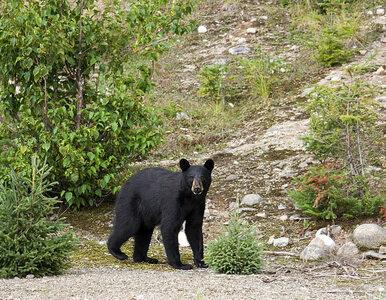 Niedźwiedź zaskoczył grupę turystów. Obwąchał ich, podotykał, a nawet...