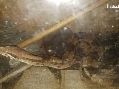 Śląskie. W piwnicy znaleziono 2-metrowego egzotycznego węża