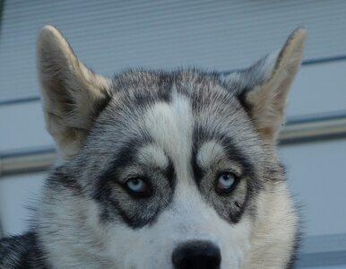 Pies szukał tragicznie zmarłej właścicielki. Przebył ponad 1700 kilometrów